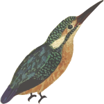 Kingfisher bird in full color vector image
