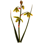 LargerAlbuca