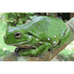 Magnificent tree frog Litoria splendida crop 2016052859