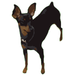 Pepper MinPin MiniaturePinscher dog king of toys 2016020424