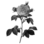 Rose in gray scale