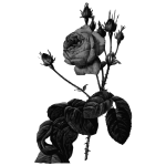Roses in gray scale