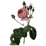 Blossomed pink rose with leaves