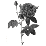 Wild roses in gray color