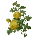 Wild rose in yellow color