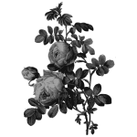 Blossoming roses in gray