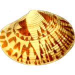 Yellowish sea shell