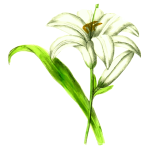 Lily flowering plant