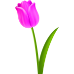 Tulip Colour pink