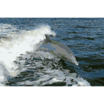 Tursiops truncatus 01 2016052930