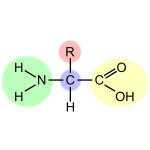 Vector image of amino acid scheme