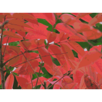 autumn leaves 01