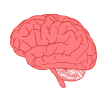 Vector drawing of side view of human brain in red