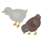 Vector illustration of two colored chickens roaming around