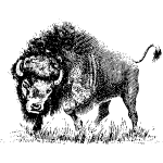 Buffalo drawing