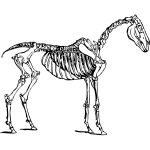 Vector image of horse skeleton