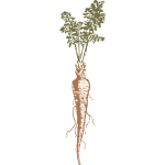 Vector image of a parsnip