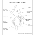 Vector image of the human heart