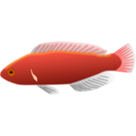 Cirrhilabrus jordani fish vector illustration