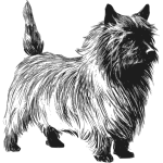 Cairn terrier vector drawing