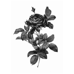 Silver-gray rose