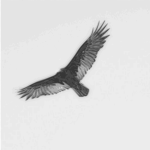 turkey vulture pencil sketch