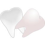 Tooth cut in half vector drawing