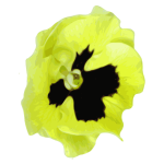 Pansy vector graphics